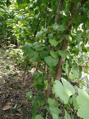 湖北省宜昌市夷陵区白果树