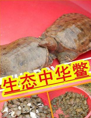 安徽省安庆市怀宁县中华鳖