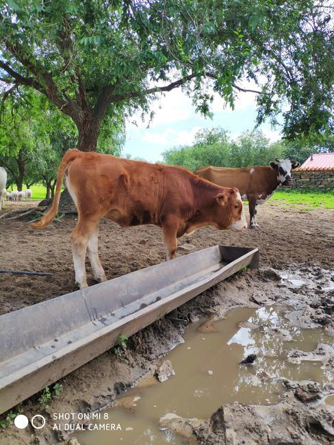 西门塔尔牛 400-600斤 统货