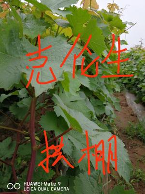 辽宁省葫芦岛市绥中县克伦生葡萄苗