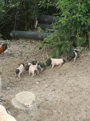 浙江省温州市乐清市巴马香猪 40-60斤