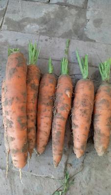 陕西省榆林市靖边县三红胡萝卜 15cm以上 2两以上 4~5cm