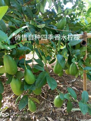 广西壮族自治区贵港市平南县香水柠檬 2 - 2.6两