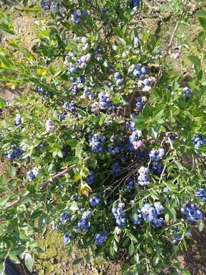 吉林省吉林市蛟河市北陆蓝莓 鲜果 4 - 6mm以上