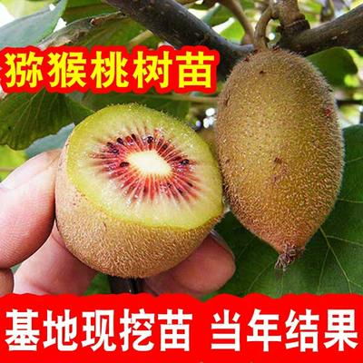 广西壮族自治区钦州市灵山县红心猕猴桃苗 嫁接苗