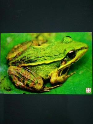 湖北省荆州市荆州区青蛙