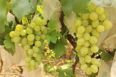 这是一张关于维多利亚葡萄 5%以下 1次果 1-1.5斤的产品图片