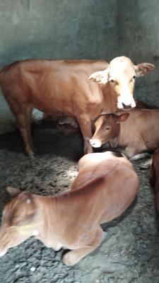 江西省上饶市铅山县改良黄牛 400-600斤 母牛