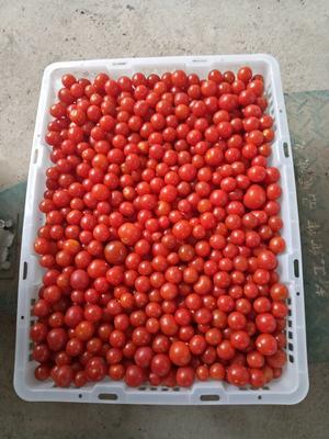 贵州省黔东南苗族侗族自治州镇远县樱桃番茄 不打冷 大红 弧一以下