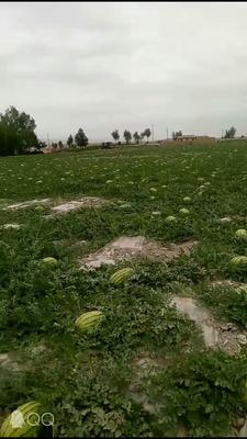 这是一张关于宁夏西瓜 有籽 1茬 9成熟 15斤打底的产品图片