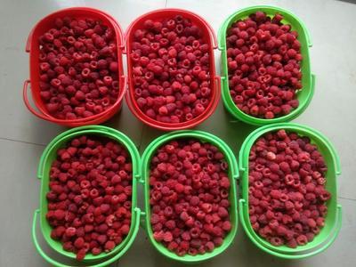 河南省新乡市封丘县红树莓 鲜果