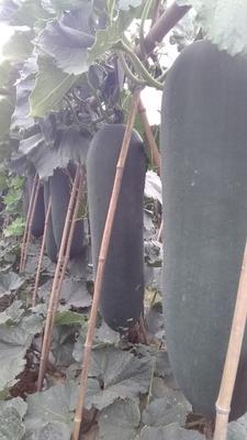 这是一张关于黑皮冬瓜 10斤以上 黑皮的产品图片