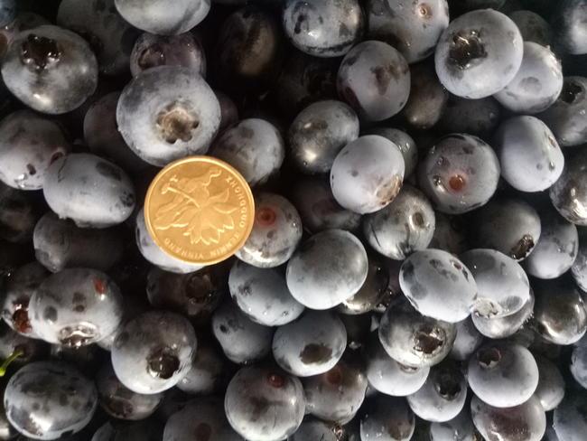 瑞卡蓝莓 鲜果 12 - 14mm以上