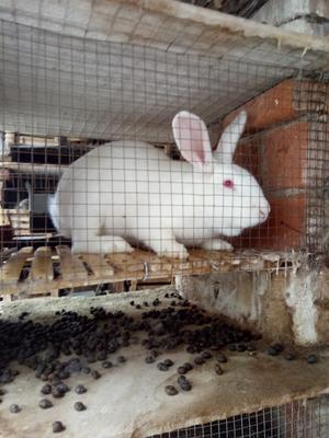 河南省许昌市禹州市肉兔 3-5斤