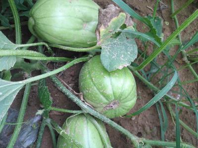 山西省大同市南郊区芝麻蜜香瓜 0.5斤以上