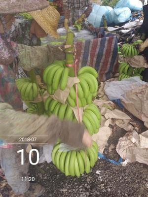 海南省昌江黎族自治县昌江黎族自治县巴西香蕉 七成熟 40 - 50斤