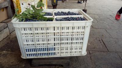 云南省大理白族自治州大理市北陆蓝莓 冻果 8 - 10mm以上