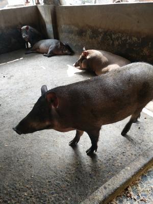 四川省遂宁市船山区黑猪 200-300斤