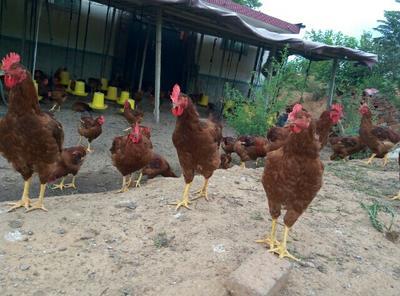 山东省青岛市平度市大红公鸡 公 5-6斤
