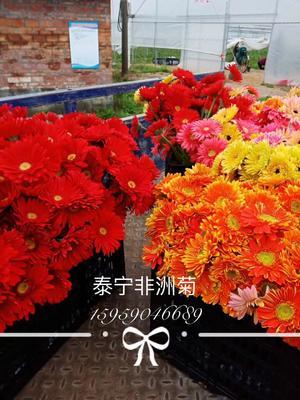 福建省三明市泰宁县非洲菊