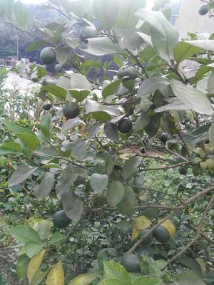 广东省佛山市顺德区尤力克柠檬 2.7 - 3.2两