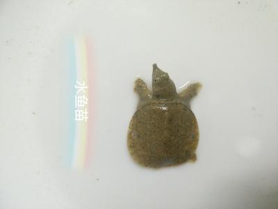 这是一张关于黄河甲鱼的产品图片