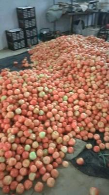 河南省郑州市中牟县硬粉番茄 不打冷 硬粉 弧二以上