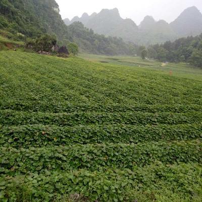广东省茂名市高州市原生态高山有机红薯 红皮 3~8两