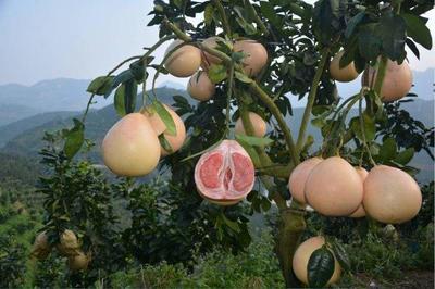 湖南省衡阳市珠晖区三红蜜柚 2.5斤以上