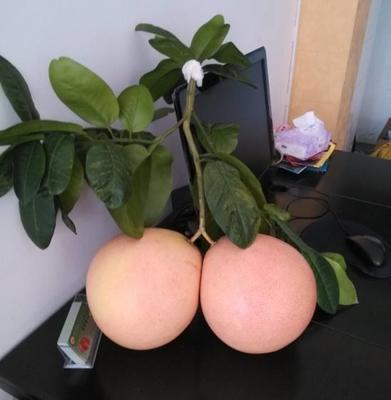 湖南省衡阳市雁峰区三红蜜柚 2.5斤以上