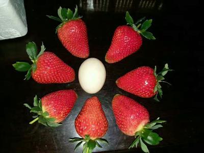 山东省泰安市岱岳区奶油草莓苗 地栽苗 20~30公分