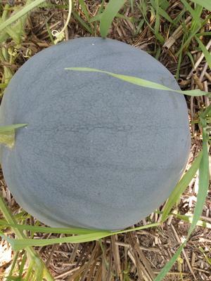 河南省周口市太康县黑皮无籽西瓜 无籽 1茬 8成熟 8斤打底