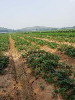 山东省泰安市泰山区章姬草莓苗 地栽苗 10~20公分