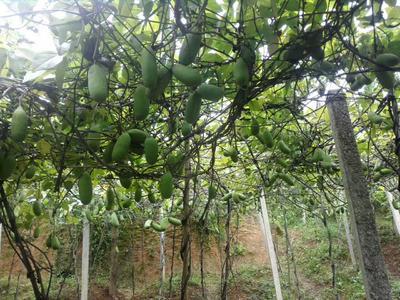 贵州省黔东南苗族侗族自治州黎平县多种八月瓜 种植 100-120g