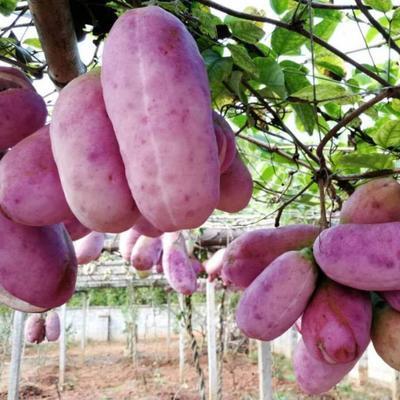 湖南省岳阳市岳阳楼区湘淳紫色八月瓜 种植 150g以上