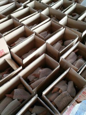 陕西省西安市阎良区板栗薯 红皮 1~3两