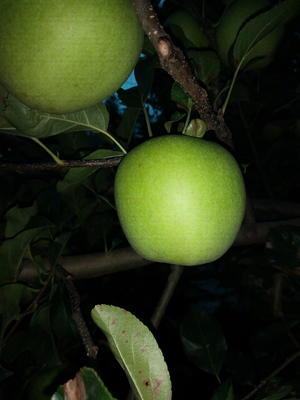 四川省凉山彝族自治州盐源县盐源金帅苹果 光果 翠绿 60mm以上