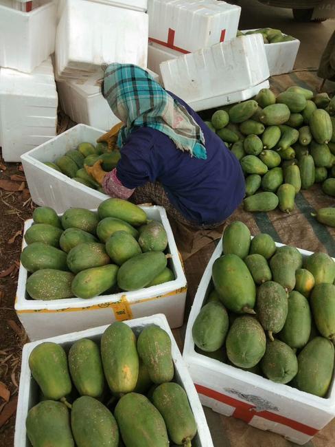 红心木瓜 1.5 - 2斤  约9.0斤/箱