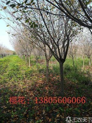 安徽省合肥市肥西县晚樱 14~16公分 3~3.5米
