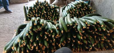 这是一张关于刺黄瓜 22~25cm 鲜花带刺 的产品图片