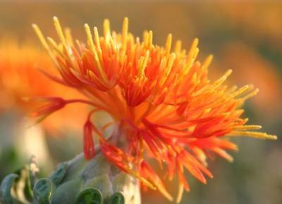 这是一张关于红花的产品图片
