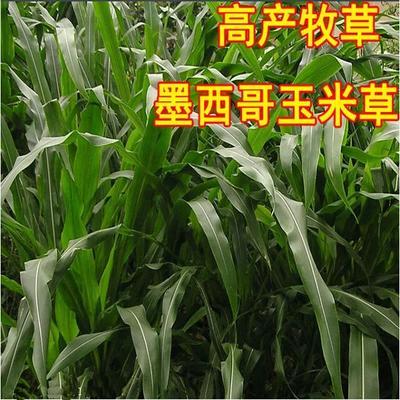 江苏省无锡市江阴市墨西哥玉米草