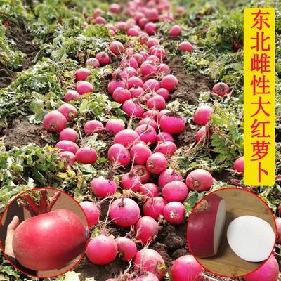 山东省聊城市东昌府区大红袍萝卜 1~1.5斤
