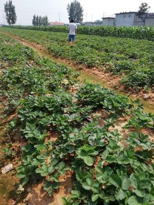山东省泰安市泰山区白草莓 地栽苗 10~20公分