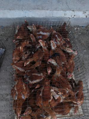陕西省咸阳市三原县红羽鸡苗