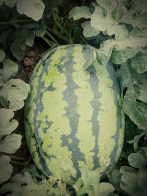 陕西省西安市户县甜王西瓜 有籽 1茬 8成熟 10斤打底