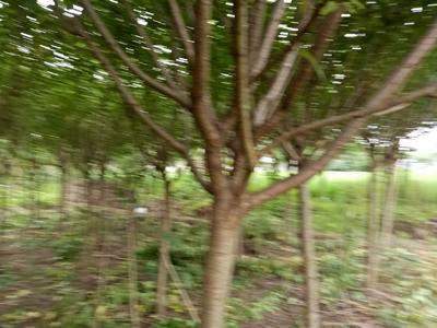 四川省成都市彭州市晚樱 8~10公分 3~3.5米