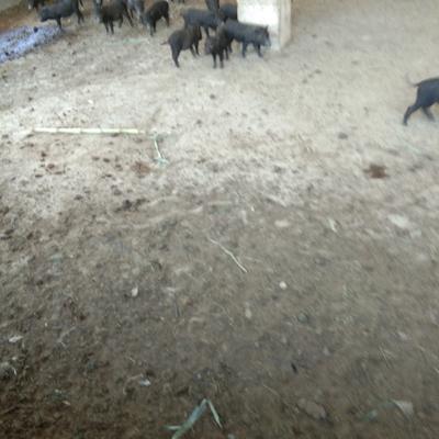 广西壮族自治区桂林市全州县黑香猪 20-40斤