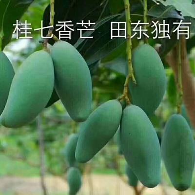 广西壮族自治区百色市田东县桂七芒 4两以上