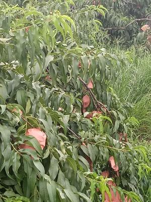 这是一张关于炎陵黄桃 55mm以上 3 - 4两的产品图片